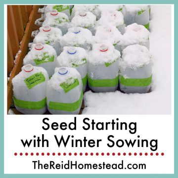 photo of milk jugs in the snow that have been winter sown with text overlay Seed Starting with Winter Sowing