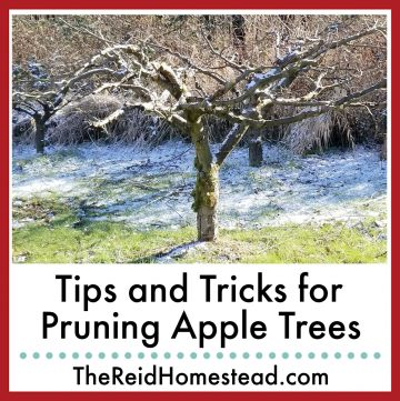 photo of a well pruned apple tree with text overlay Tips and Tricks for Pruning Apple Trees