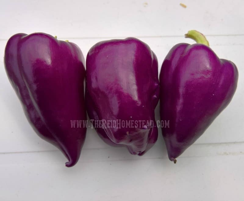 "Purple ""Oda"" Peppers. Learn how to plant your pepper seeds as part of my Seed Starting 101 Series. Learn all my tips and tricks for growing your peppers from seed into big beautiful abundant plants. The Reid Homestead"