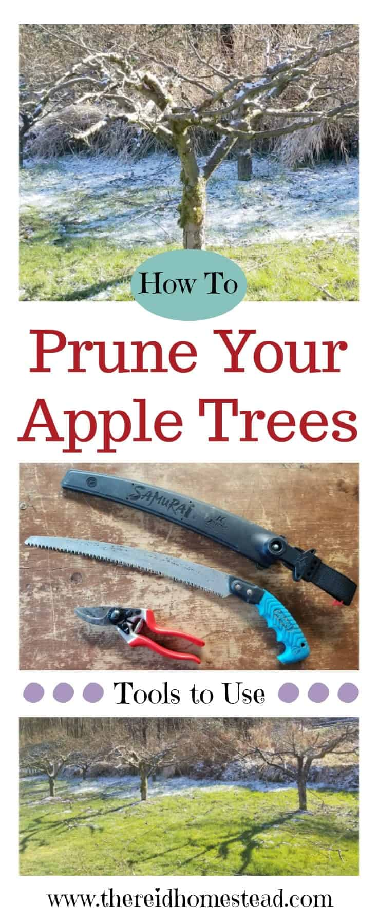 My tips on how to prune apple trees on your homestead. A guide and tutorial to show you the best tools to use. The Reid Homestead