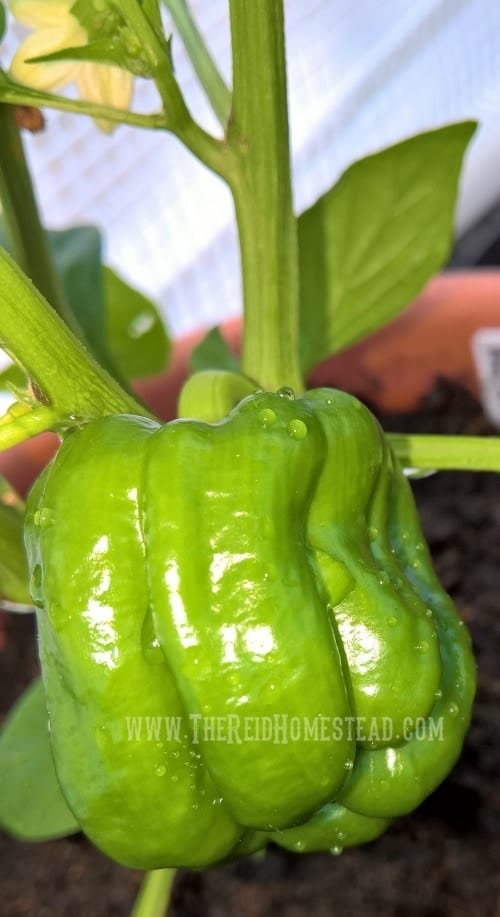 "An early ripening ""King of the North"" sweet pepper. Learn how to plant your pepper seeds as part of my Seed Starting 101 Series. Learn all my tips and tricks for growing your peppers from seed into big beautiful abundant plants. The Reid Homestead"