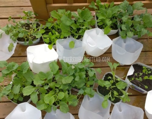 Winter Sowing Tutorial Sow Your Seeds In Using Milk Jugs As Min Greenhouses Seed Starting