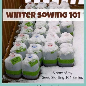 Winter Sowing tutorial Sow your seeds in winter using milk jugs as mini greenhouses. Seed Starting 101 Series The Reid Homestead