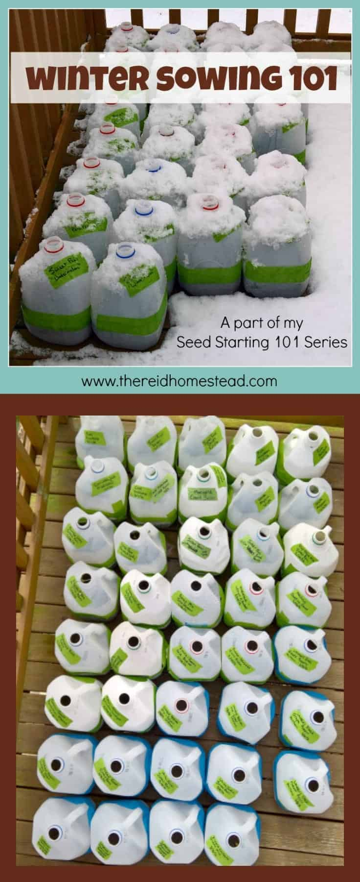 Winter Sowing tutorial Sow your seeds in winter using milk jugs as min greenhouses Seed Starting 101 Series The Reid Homestead