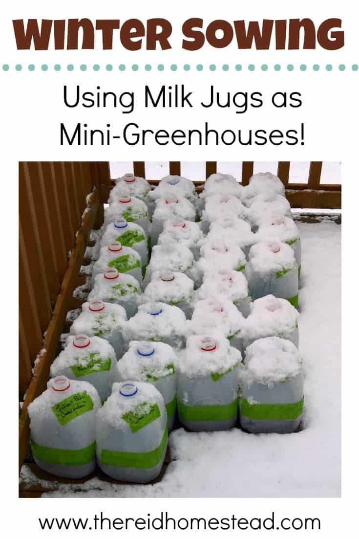 Winter Sowing An easy method to sow your seeds in winter, using milk jugs as mini greenhouses. Seed Starting 101 Series The Reid Homestead