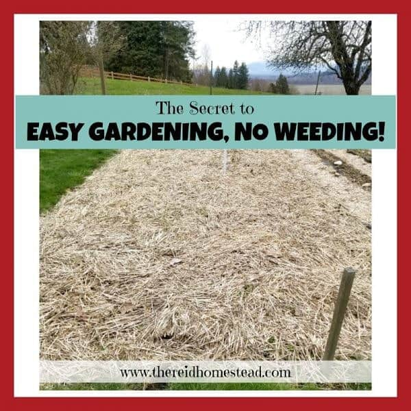 garden bed mulched with straw with text overlay The Secret To Easy Gardening, No Weeding!