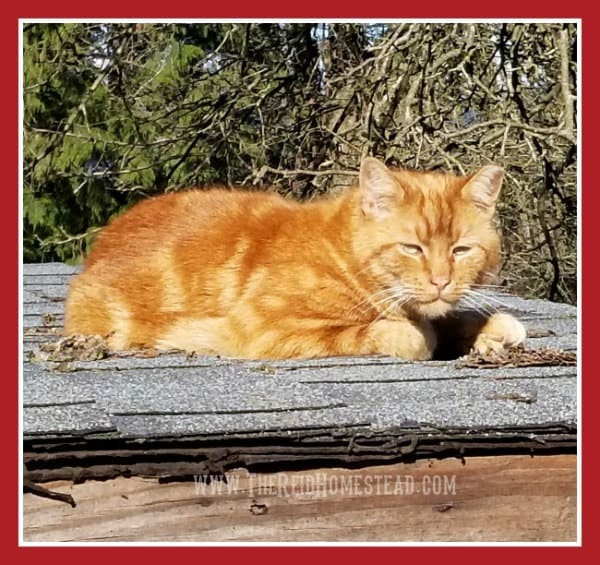 5 Things Friday - Favorite Homestead Critter thing this week, our feral rescue barn cat Otis! The Reid Homestead