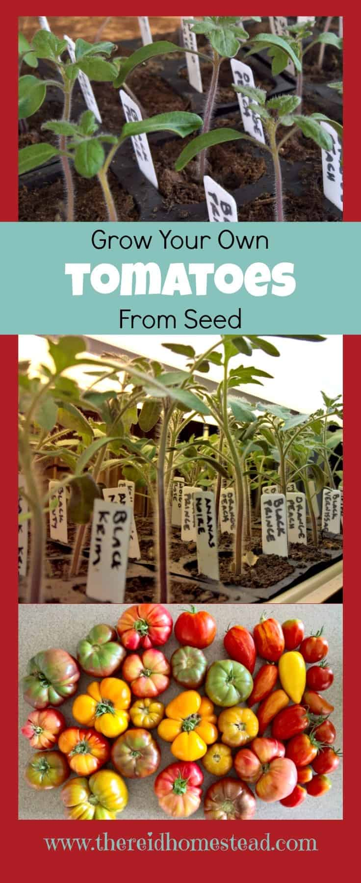 Want to grow your own tomatoes from seed? This allows you to try growing new and different varieties from the norm! Follow along as I share how to grow tomatoes from seed, as part of my Seed Starting 101 Series. The Reid Homestead