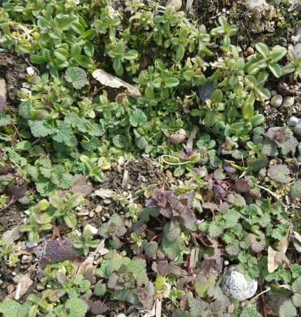 up close of weeds due to no mulch