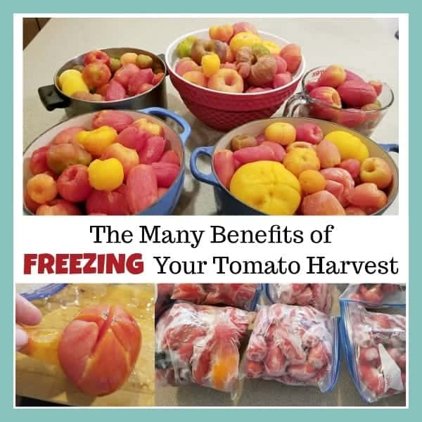 bowls of frozen tomatoes defrosting with text overlay The Many Beneftis of Freezing Your Tomato Harvest