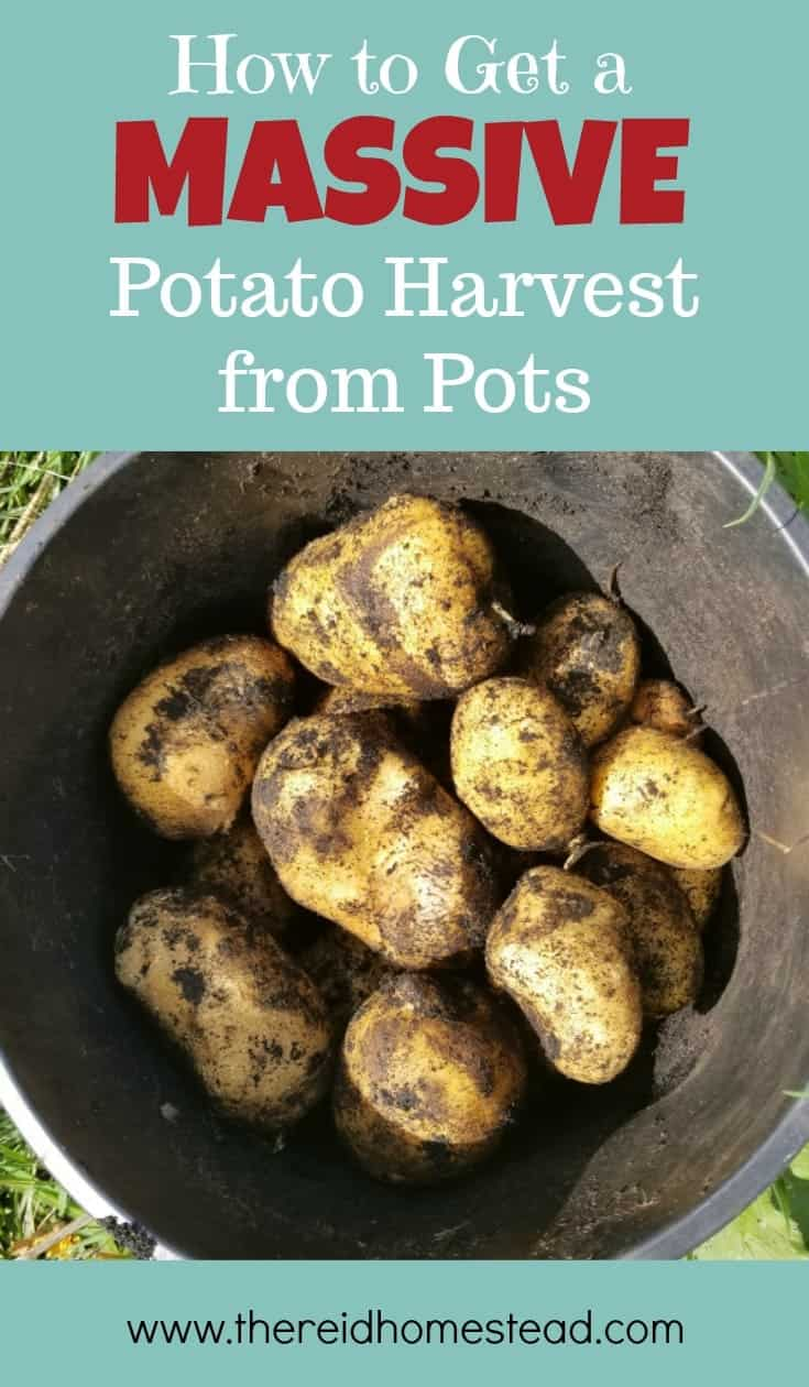 Learn how to get a massive potato harvest from pots! These simple tips really do work! The Reid Homestead #potatoes #gardeningtips #vegetablegardening
