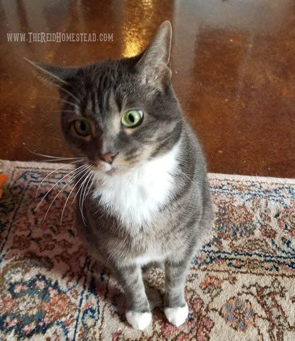 Milo the cat - The Reid Homestead