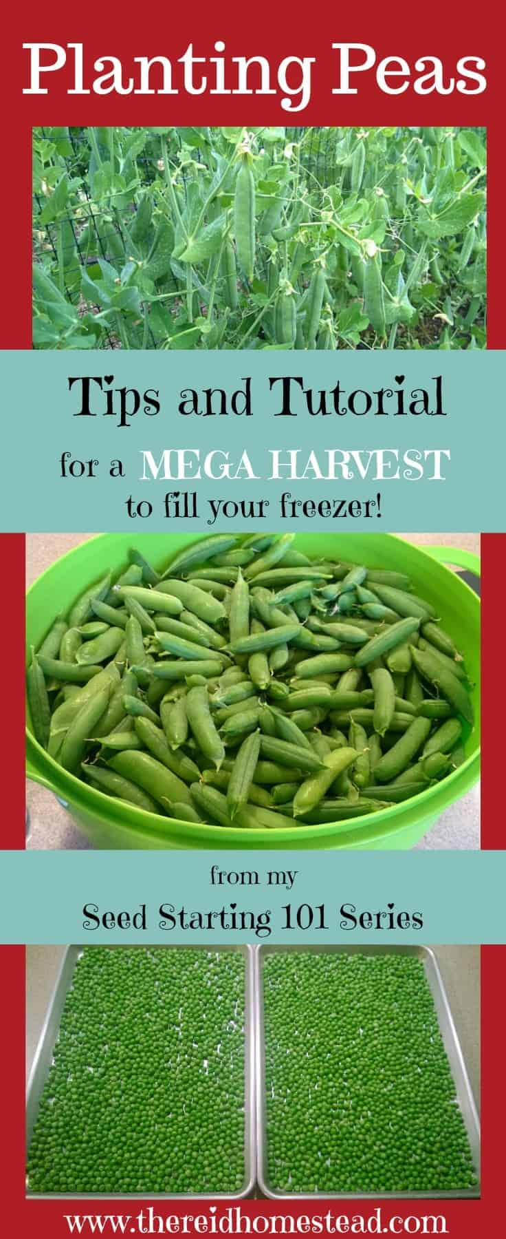 Planting Peas - Part of my Seed Starting 101 Series. Follow along as I share my tips and tricks on planting peas for a successful mega harvest! The Reid Homestead