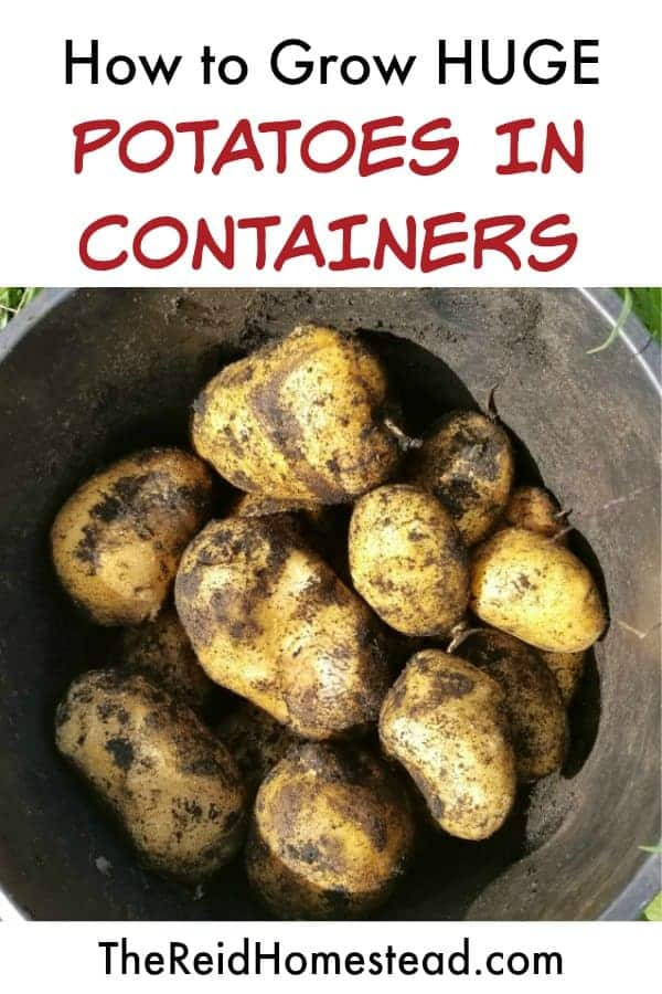 Are your potatoes small? Learn how to grow HUGE potatoes in containers! In this article are a couple of awesome tips to help increase your potatoes size and overall harvest when growing them in pots! ~The Reid Homestead #potatoesinpots #potatoesincontainers #growingpotatoes #plantingpotatoes #gardeningtips