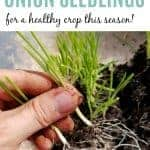 a hand holding two onion seedlings ready to be planted with text overlay How to Plant Onion Seedlings
