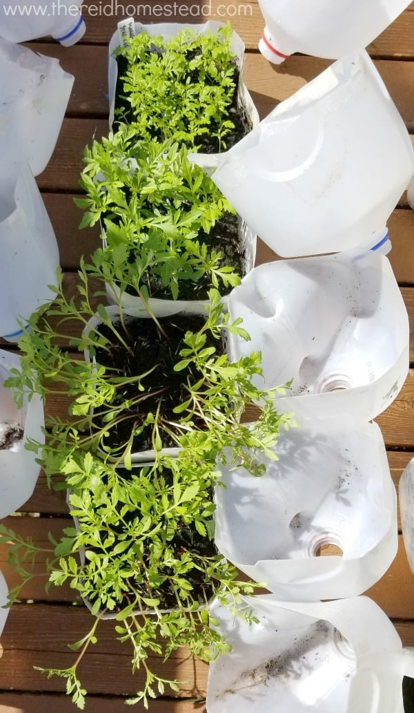 See what I grew this year using the Winter Sowing Seed Starting Method- as I share My 2018 Winter Sowing Results! The Reid Homestead #wintersowing #seedstarting #gardening