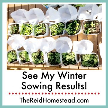 open winter sowing milk jugs showing started plants with text overlay See My Winter Sowing Results!