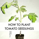 tomato seedling with text overlay How to Plant Tomato Seedlings