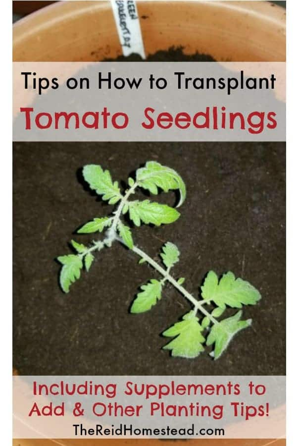 tomato seedling in a pot with text overlay tips on how to transplant tomato seedlings
