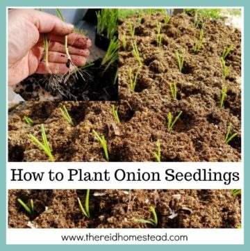 Learn how to plant onion seedlings with this informative tutorial. The Reid Homestead #onions #planting #vegetablegardening