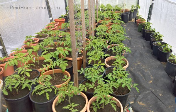 greenhouse full of tomato plants