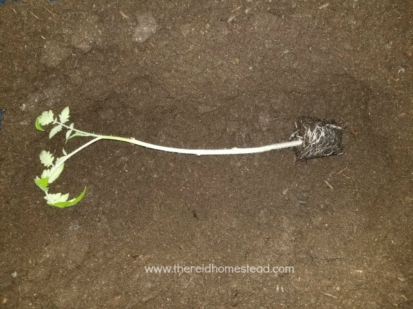 trench planting a tomato seedling