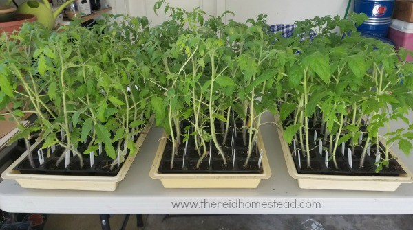 trays of tomato seedlings