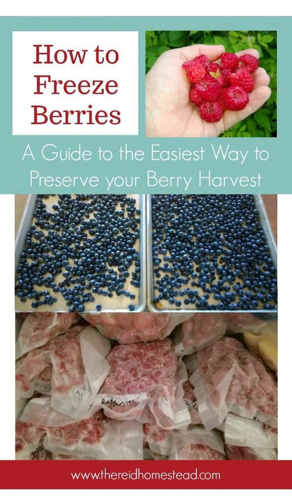 handful of raspberries, baking sheets with blueberries, bags of frozen berries in freezer with text overlay How to Freeze Berries