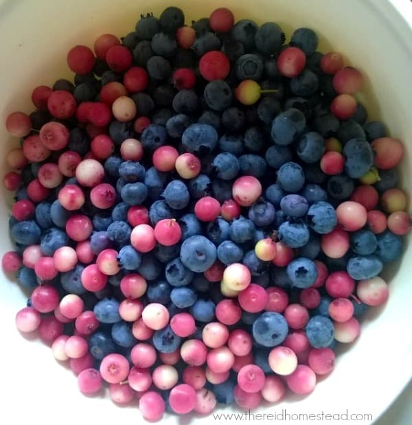bowl of pink and blue blueberries