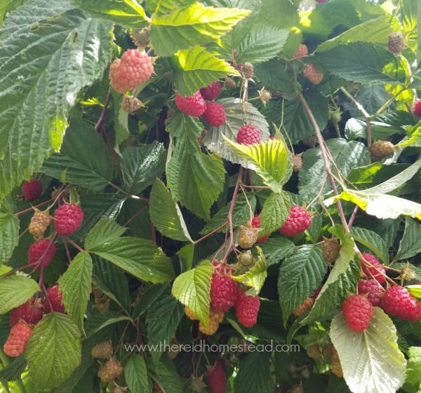 raspberries on plant