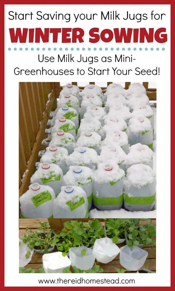 Winter Sowing tutorial Sow your seeds in winter using milk jugs as mini greenhouses. Seed Starting 101 Series The Reid Homestead #wintersowing #wintergardening #seedstarting #gardening