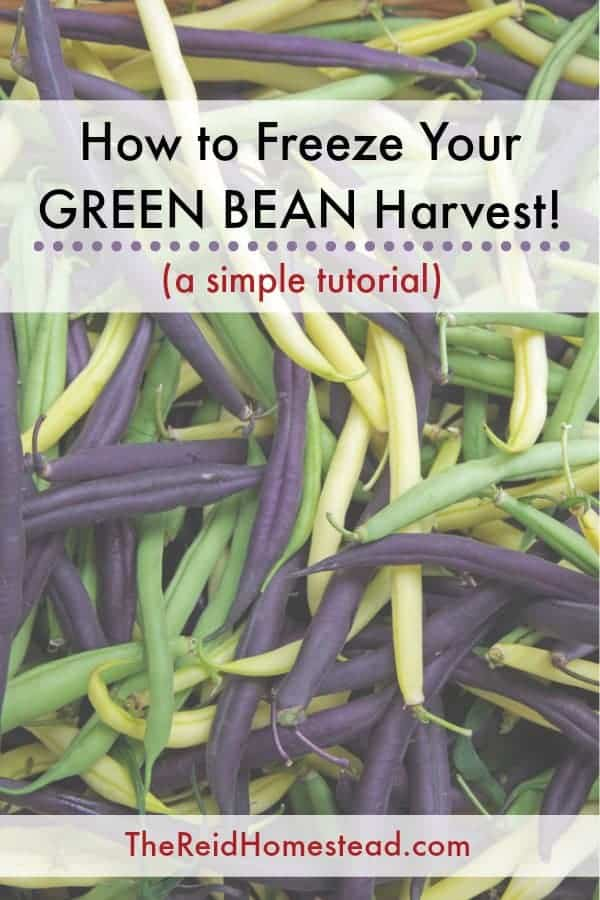 tri color string beans with text overlay How to Freeze your Green Bean Harvest