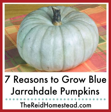a blue jarrahdale pumpkin on an orange and green plaid placemat with text overlay 7 Reasons To Grow Blue Jarrahdale Pumpkins