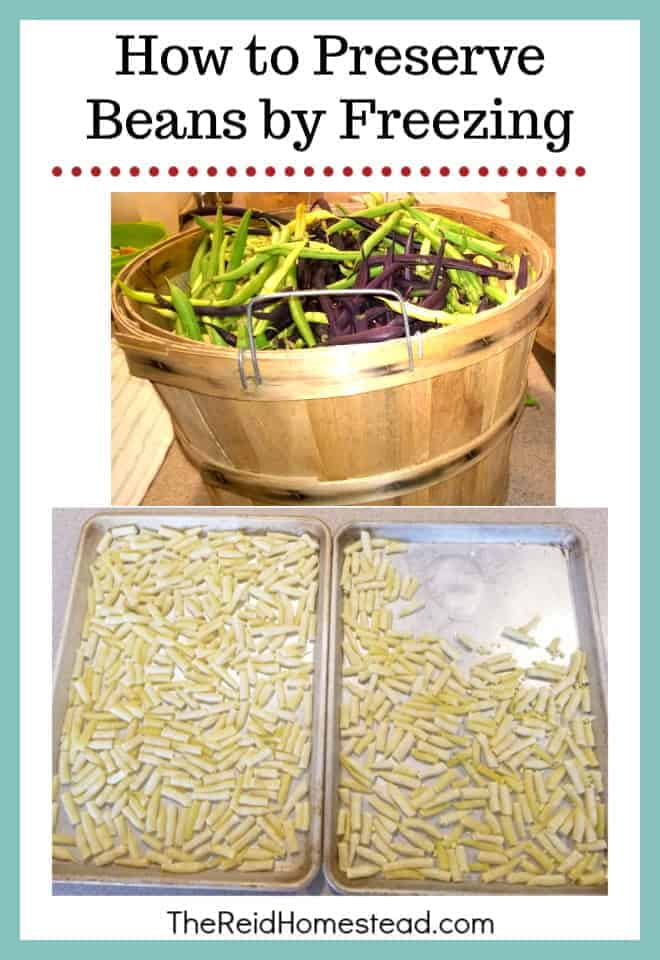 The Easiest Way to Preserve Beans, by freezing them! -The Reid Homestead #beans #foodpreservation #freezingbeans #growingbeans #vegetablegardening #puttinguptheharvest