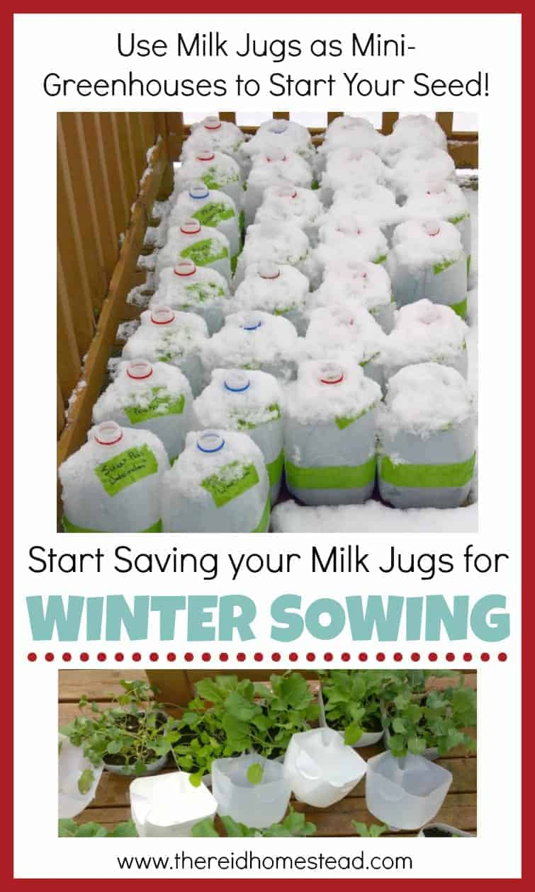 Winter Sowing tutorial Sow your seeds in winter using milk jugs as min greenhouses Seed Starting 101 Series The Reid Homestead #wintergardening #winterseedstarting #startingseeds #wintersowing