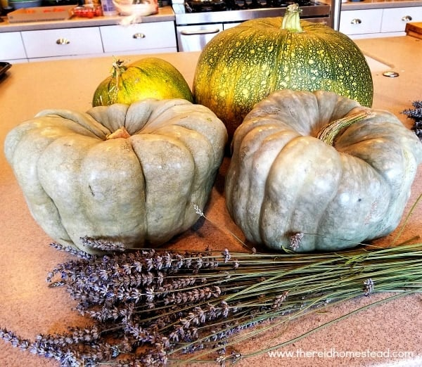 7 Reasons Why EVERYONE should grow blue Jarradale Pumpkins! -The Reid Homestead #pumpkins #vegetablegardening #growyourownfood #jarrahdalepumpkins #pumpkin #growingpumpkins