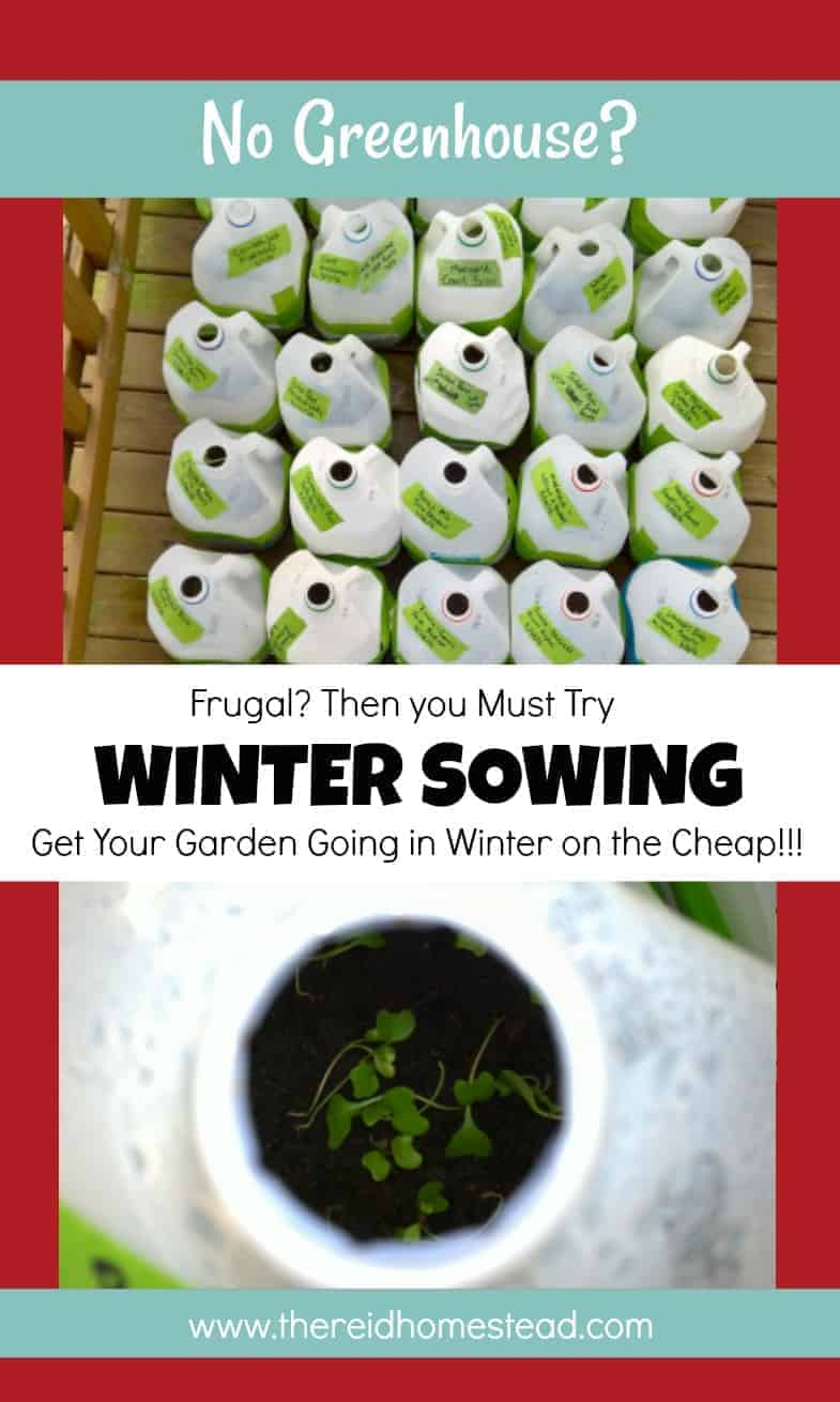 Winter Sowing tutorial Sow your seeds in winter using milk jugs as min greenhouses Seed Starting 101 Series The Reid Homestead #DIYgardening #frugalgardening #gardeningtips #startingseeds #wintersowing