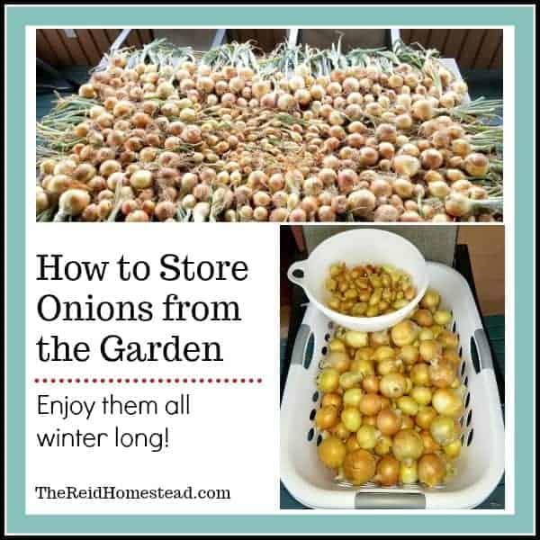 How to Store Onions from the Garden. Find out which varieties to grow that do best in long term storage. ~The Reid Homestead #storingonions #onionstorage #onionvarieties #foodpreservation #homesteadgardening #selfsufficient #selfsustaining #growyourownfood #onions #growingonions