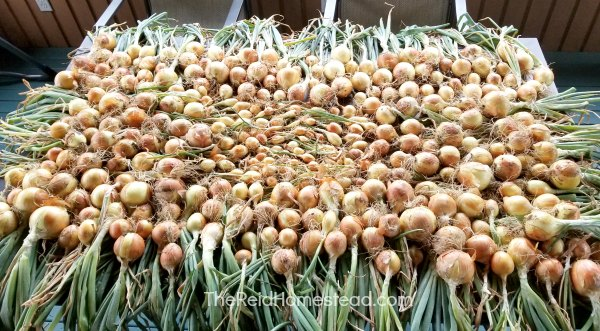onions curing on the porch table