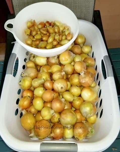 How to Store Onions from the Garden. Find out which varieties to grow that do best in long term storage. ~The Reid Homestead