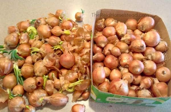 onions stored over the winter beginning to sprout