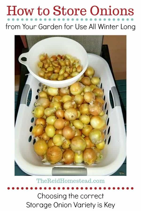 Are you a self sustaining homesteading family trying to produce all of your own home grown food? Then you will want to check out my article on how to store onions from the garden straight through the winter! ~The Reid Homestead #homesteadgardening #foodpreservation #preservingonions #storingonions #onionstorage #onionvarieties #growingonions