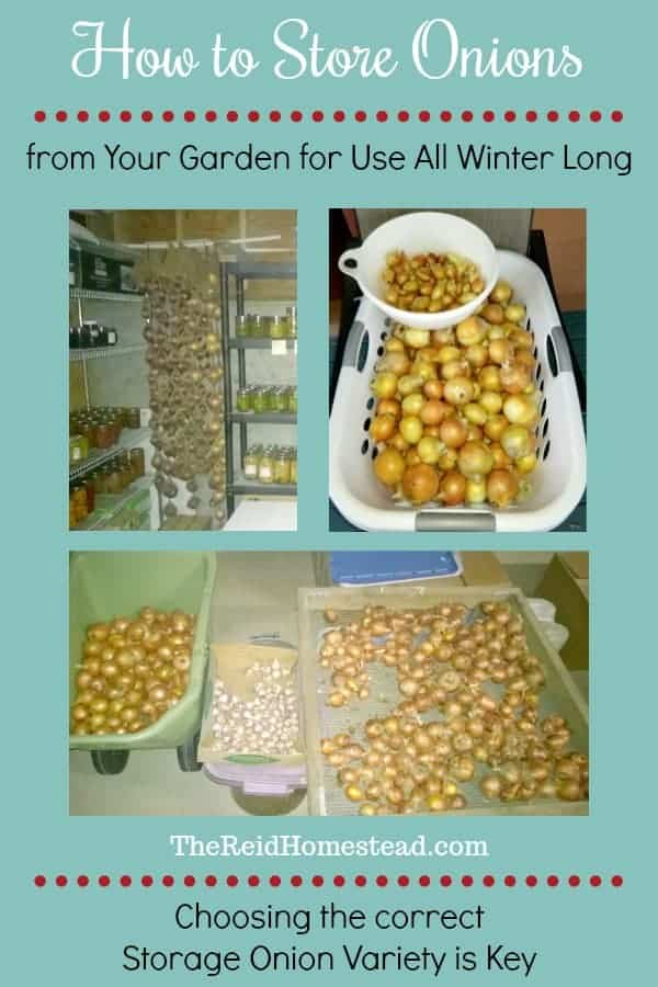 Learn how to choose which onion varieties to grow, in order to be able to store them successfully all winter long! ~The Reid Homestead #storingonions #storageonions #keepingonions #onionvarieties #onions #growingonions #plantingonions