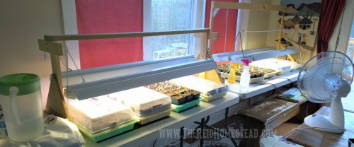 table with flats of seed trays under grow lights