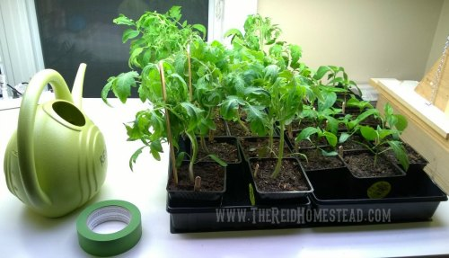 tray of tomato starts next to a watering can