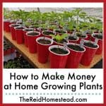 photo of pepper plant starts in red solo cups with text overlay Make Money at Home Growing Plants