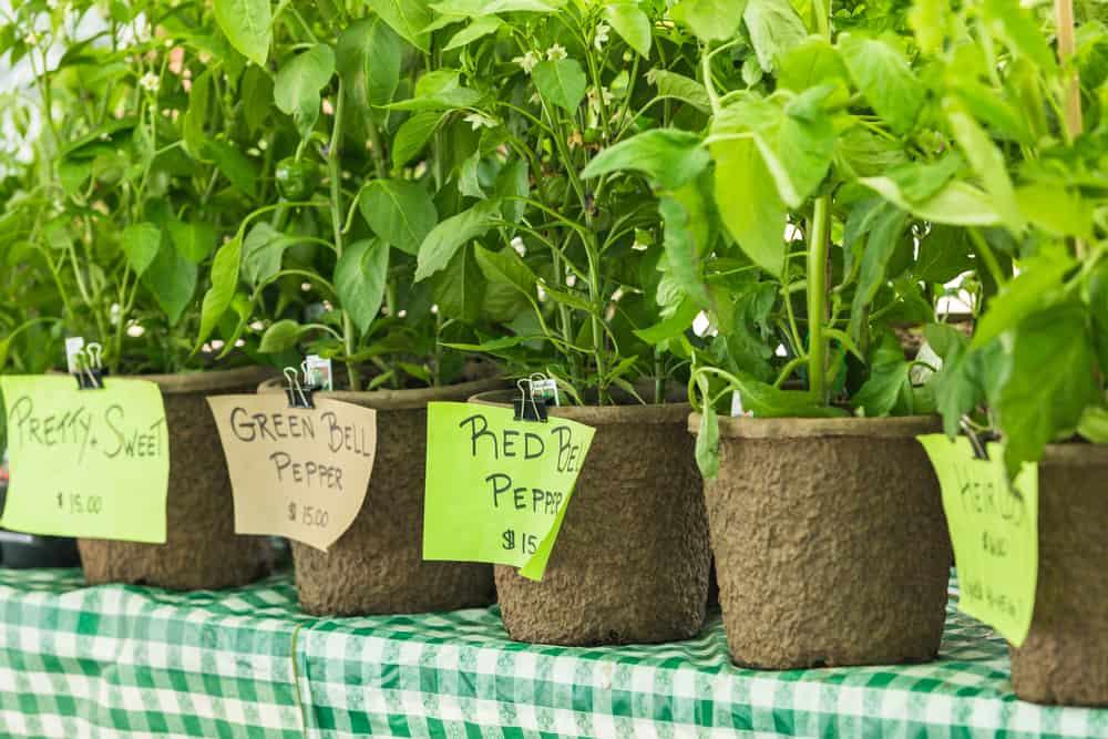 vegetable seedlings for sale