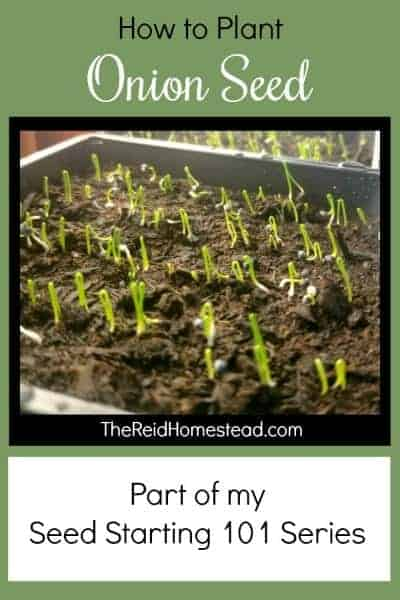 A step by step tutorial on How to Plant Onion Seed Indoors in Winter ~ The Reid Homestead #onions #onionseed #growingonions #plantingonionseed #vegetablegardening #gardeningtips #wintergardening #seedstartingindoors