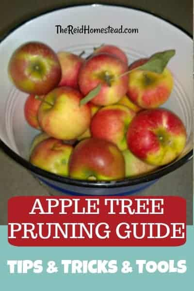 Read my apple tree pruning tutorial to learn how to prune apple trees, which tools to use, and a video to help guide you! ~The Reid Homestead #appletreepruning #pruningappletrees #howtopruneappletrees #pruning #appletrees #pruningguide #appletree #tutorial