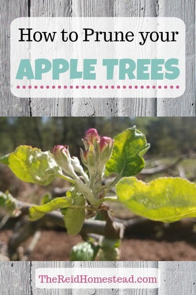 Learn how to prune apple trees, which tools to use, and a video included! ~The Reid Homestead #appletreepruning #howtopruneappletrees #pruningappletrees #appletrees #pruning #pruningguide #pruningtutorial #pruningvideo